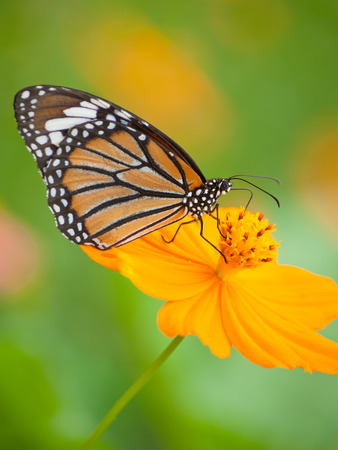 Butterfly feeding on flower photo