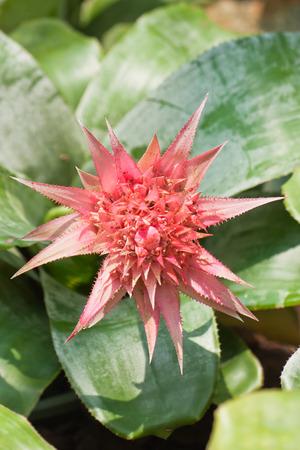 aechmea: Beautiful pink flower , Aechmea fasciata bromeliad