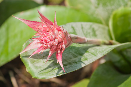 aechmea: Beautiful pink flower , Aechmea fasciata bromeliad