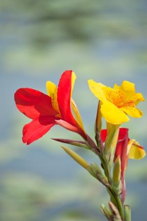 Canna Flores Foto de archivo - 23199393