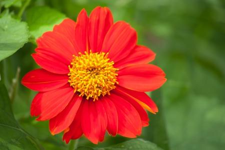 Zinnia flor Foto de archivo - 23307485