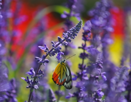 Butterfly on lavender flower photo