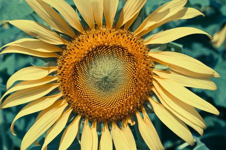 Vintage of  sunflower photo