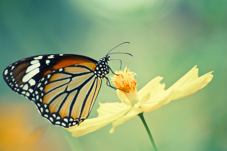 Vintage of monarch butterfly photo