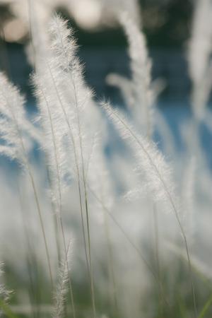 cylindrica: Imperata cylindrica Beauv on sunshine