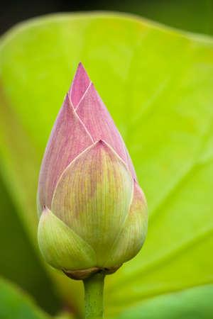 Bud lotus flower in pond photo