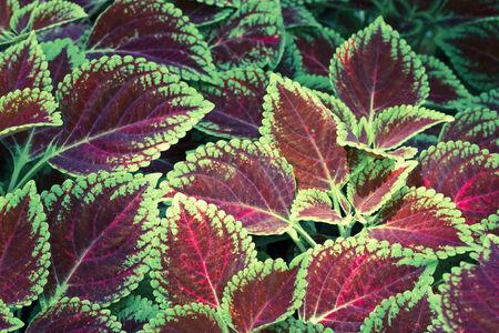 Coleus leaves (Painted nettle,Flame nettle ) photo
