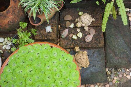 salvinia: Green pistia stratiotes in  garden