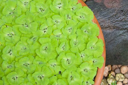 salvinia: Green pistia stratiotes in pottery