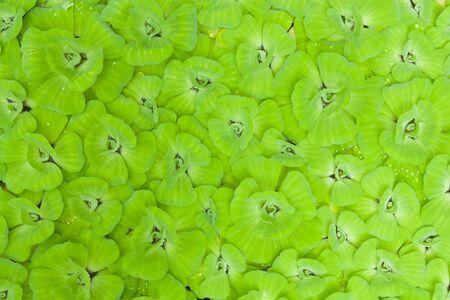 salvinia: Green pistia stratiotes background