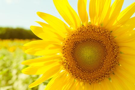 campo de flores: Campo de girasol imagen en color suave con