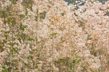 imperata: Imperata cylindrica Beauv on sunshine