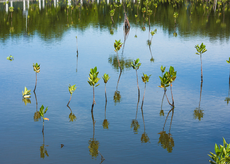 Young mangrove in swamp Stock Photo