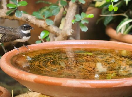 fantail: Pied fantail in garden