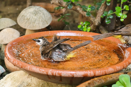 vented: Yellow - vented Bulbul Pycnonotus goiavier swimming, motion blur Stock Photo