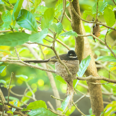 fantail: Pied fantail on the nest in garden Stock Photo