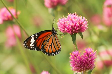 Monarchvlinder het voeden op roze bloem