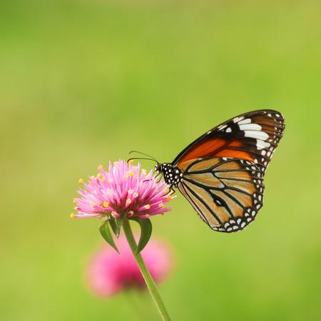 Monarch butterfly feeding on pink flower Stock Photo