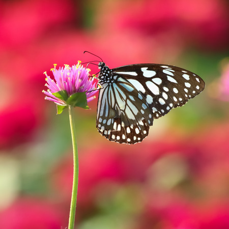 butterfly feeding on pink flower Stock Photo