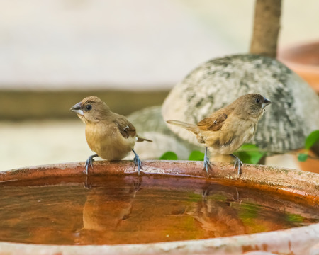 Scaly-breasted munia bird bath in the garden Stock Photo