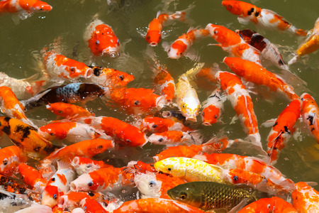Colorful koi fish feeding in a pond Reklamní fotografie