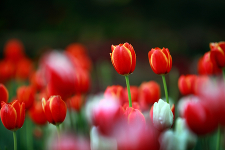 tulips: Red tulips with beautiful bouquet background Stock Photo
