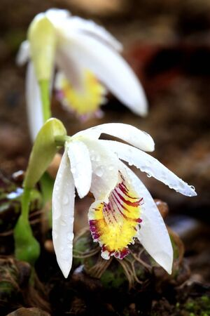 thai orchid: Wild thai orchid flower in rainforest of Chiang Mai, Thailand. Stock Photo