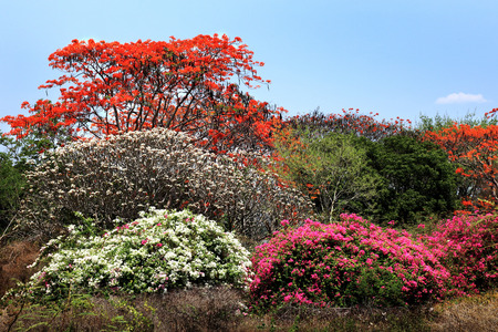 colorful tree: Colorful tree in Chiang Mai, Thailand.