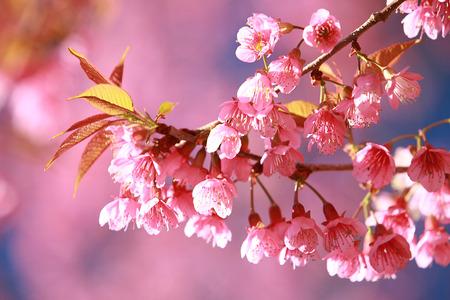 cereza: Primer plano de cereza salvaje del Himalaya (Prunus cerasoides)