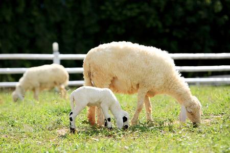 ovejas: Ovejas blancas y una lámpara que comen la hierba en la granja de campo, Tailandia.