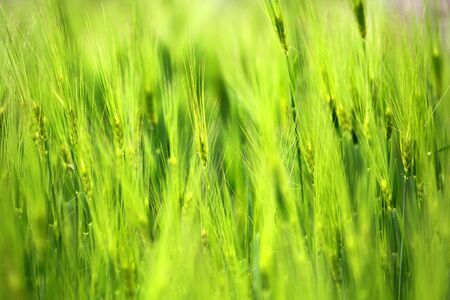 waver: Closeup of poaceae field in countryside texture background.