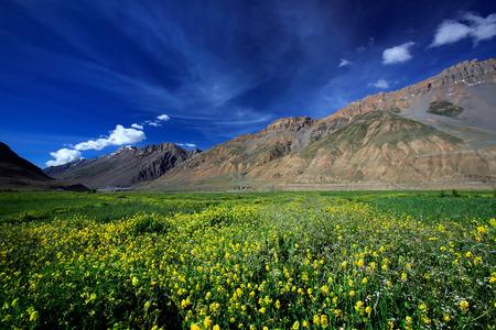 Yellow wild flower field near mountain in Northern India. Stock Photo