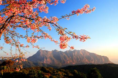 dao: Closeup of Wild Himalayan Cherry Prunus cerasoides at San PaKea, Chiang Dao, Thailand. Stock Photo