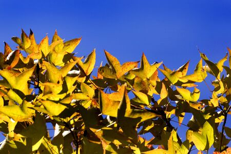 tree branches: old treetop and blue sky in autumn. Stock Photo