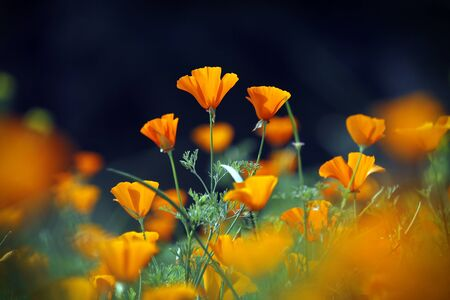 Wild orange poppies flower field in morning, Chiang Mai, Thailand. Stock Photo