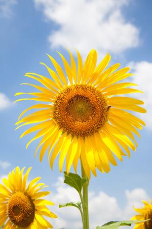 agrar: sunflower on blue sky background Stock Photo