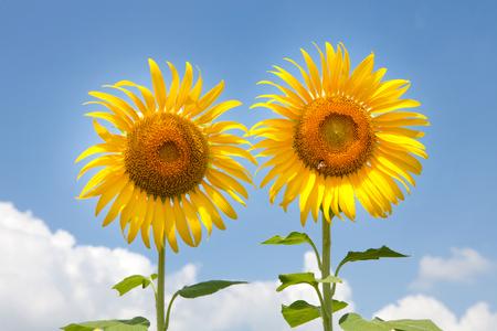 agrar: sunflowers on blue sky background