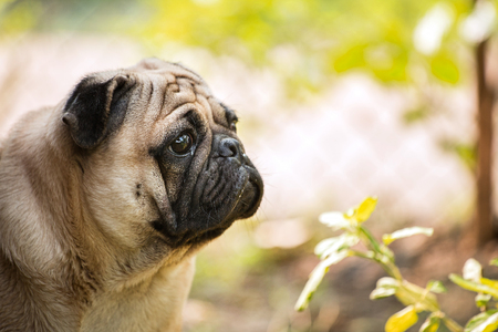 implore: lonely pug sitting in garden Stock Photo