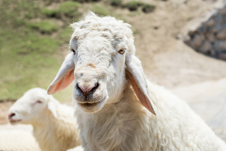 head shot of romney sheep portrait looking Stock Photo