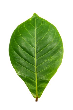 zielony liść indyjskiego migdałowca Zdjęcie Seryjne