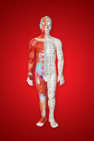 acupuncture points on male figure model - traditional Chinese health care