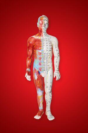 puntos de acupuntura en el modelo de figura masculina - atención médica tradicional china