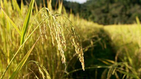 Rice Fields Landing Mae Klang Luang, Doi Inthanon, Chiang Mai..