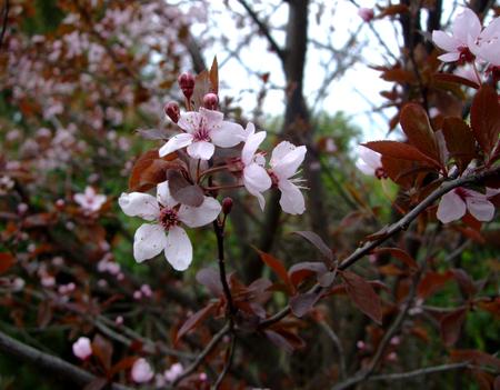 Apple pink blooms in the botanical garden Reklamní fotografie