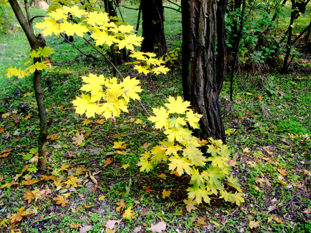 Yellow autumn leaves hanging from tree on ground