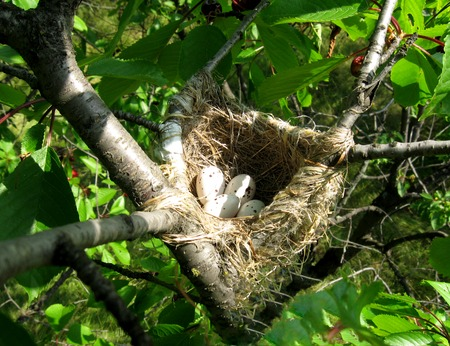 Nest with eggs on a fruit green tree