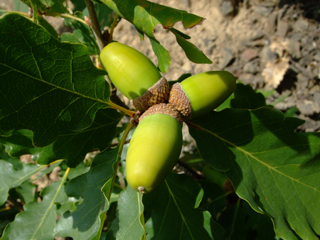 Oak branch Acorns grow and ripen among leaves. Crimea Stock Photo