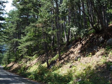 Trees in the wild forest Crimea. Yalta Ay Petri Stock Photo