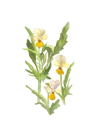 Watercolor wild pansies flower on white background