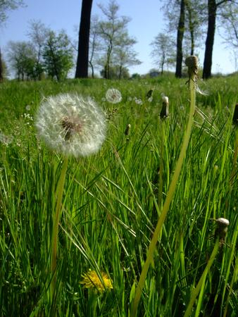 Dandelions grow in green grass. Shining on sun Stock Photo